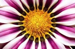 Flor do Gazania Foto de Stock