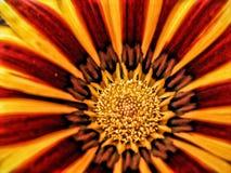 Flor do Gazania Fotografia de Stock Royalty Free