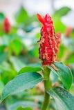Flor do gengibre Fotografia de Stock
