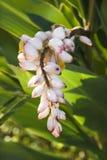 Flor do gengibre na planta. Imagens de Stock