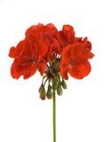 Flor do gerânio Imagens de Stock Royalty Free