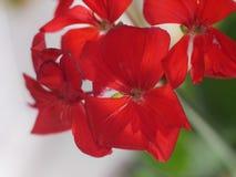 Flor do gerânio foto de stock
