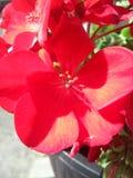 Flor do gerânio Fotografia de Stock