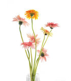 Flor do Gerbera Fotos de Stock Royalty Free