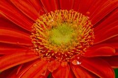 Flor do Gerbera Imagens de Stock