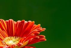 Flor do Gerbera Foto de Stock Royalty Free