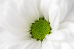 Flor do Gerbera imagem de stock royalty free