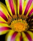 Flor do Gerbera Imagem de Stock