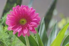 Flor do Gerbera Foto de Stock