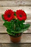 Flor do Gerbera do potenciômetro na plataforma de madeira Imagem de Stock Royalty Free