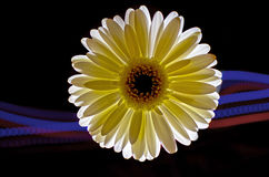 A flor do Gerbera iluminou-se acima no preto com fugas Fotos de Stock Royalty Free