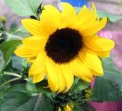 A flor do girassol é um do mais bonitos no mundo, com pétalas amarelas imagem de stock royalty free