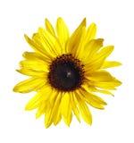 Flor do girassol foto de stock royalty free