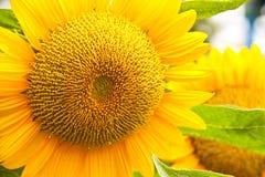 Flor do girassol. Fotografia de Stock