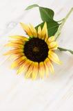Flor do girassol fotos de stock