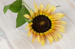 Flor do girassol imagem de stock royalty free