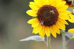 Flor do girassol com sido durante o verão imagem de stock
