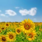 Flor do girassol no campo imagens de stock royalty free