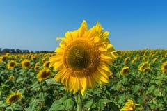 Flor do girassol no campo fotos de stock royalty free