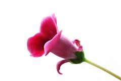 Flor do Gloxinia isolada no fundo branco Imagem de Stock