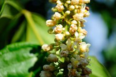 Flor do guarana das Amazonas Imagens de Stock