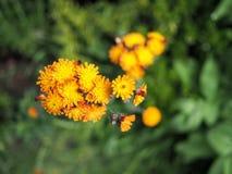Flor do hawkweed alaranjado na flor fotos de stock