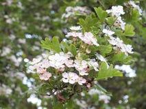Flor do Hawthorn Imagens de Stock