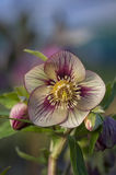 Flor do Hellebore Imagem de Stock Royalty Free