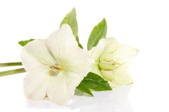 Flor do Helleborus isolada sobre o branco Imagens de Stock Royalty Free