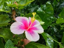 flor do hibicus no jardim Imagens de Stock