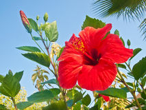 Flor do hibiscus Foto de Stock Royalty Free