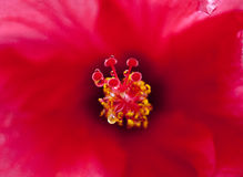 Flor do hibiscus Imagens de Stock Royalty Free