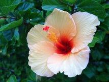 Flor do hibiscus Imagem de Stock Royalty Free