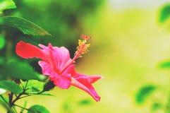 Flor do hibiscus imagens de stock