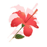 Flor do hibiscus Fotos de Stock