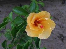 Flor do hibiscus fotografia de stock royalty free