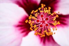 Flor do hibiscus com detalhes do estame e dos pistilos Foto de Stock