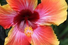 Flor do hibiscus com profundamente - as folhas do verde Imagem de Stock Royalty Free