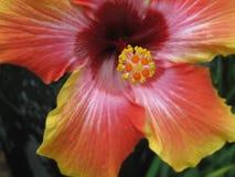 Flor do hibiscus com profundamente - as folhas do verde Foto de Stock