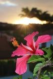 Flor do hibiscus de Nova Caledônia fotografia de stock royalty free
