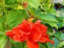 Flor do hibiscus do close up Imagens de Stock Royalty Free