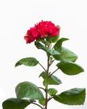 Flor do hibiscus isolada no branco Imagem de Stock Royalty Free
