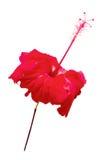 Flor do hibiscus. isolado Fotografia de Stock Royalty Free
