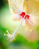 Flor do hibiscus no fundo verde Imagem de Stock