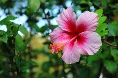 Flor do hibiscus no jardim Fotos de Stock