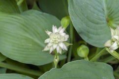 Flor 2 do Hosta Fotos de Stock Royalty Free
