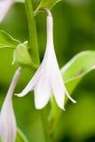 Flor do Hosta Fotografia de Stock Royalty Free