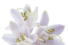 Flor do Hosta (Funkia ou lírio de banana-da-terra) no fundo branco Imagens de Stock Royalty Free