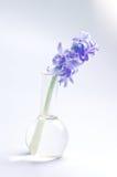 Flor do Hyacinth na garrafa de vidro Imagem de Stock Royalty Free