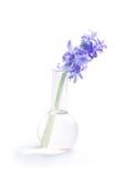 Flor do Hyacinth na garrafa de vidro Foto de Stock Royalty Free